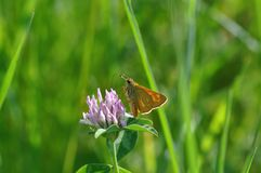 Small Skipper. Butterfly on a twig Royalty Free Stock Images