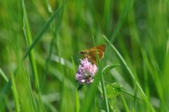 Small Skipper. Butterfly on a twig Stock Photos