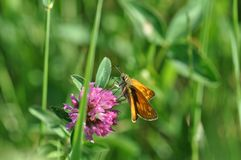 Small Skipper. Butterfly on a twig Royalty Free Stock Photography