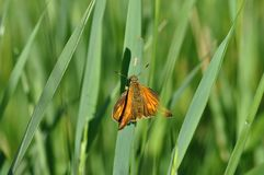 Small Skipper. Butterfly on a twig Stock Photography