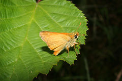 Small Skipper (Thymelicus sylvestris) Royalty Free Stock Image