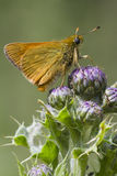 Small Skipper ( Thymelicus sylvestris ) Royalty Free Stock Photos