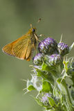 Small Skipper ( Thymelicus sylvestris ) Royalty Free Stock Photography