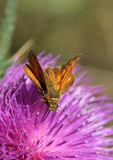 Small Skipper - Thymelicus sylvestris Stock Photos