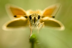 The small skipper Royalty Free Stock Photography