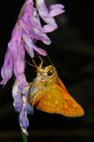 Small Skipper (Thymelicus sylvestris) Stock Images