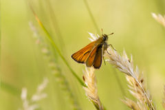 Small Skipper (Thymelicus sylvestris) Stock Image