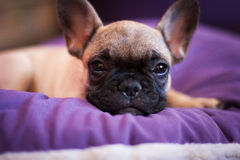 Small sleeping French bulldog Stock Images