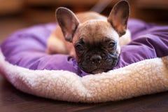 Small sleeping French bulldog Royalty Free Stock Photos