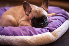 Small sleeping French bulldog Royalty Free Stock Photography