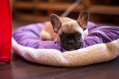 Small sleeping French bulldog Stock Image