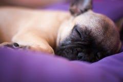 Small sleeping French bulldog Royalty Free Stock Photo