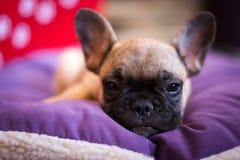 Small sleeping French bulldog Stock Images