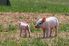 Small and Smaller. One small pig, one smaller Stock Photo