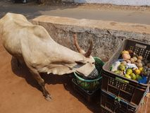 A small snack. A cow in the market is trying fresh fruit Royalty Free Stock Photography