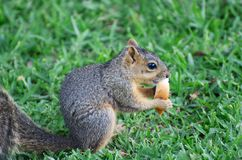 Small Snacking Squirrel Stock Photos