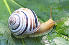 Small snail Royalty Free Stock Photography