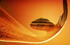 Small snail Royalty Free Stock Images