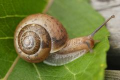 Small Snail. Small brown snail on a green leaf Stock Photography