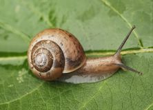 Small Snail. Closeup small snail crawling on a wet green leaf Stock Photo