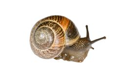Small snail. Isolated on the white background Royalty Free Stock Photos