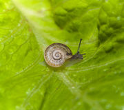 Small snail. Macro photo of a small snail on a lettuce leaf royalty free stock image