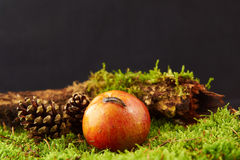 Small snail on apple in decoration with apple, pine cone, a branch and green moss Royalty Free Stock Image