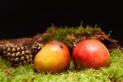 Small snail on apple in decoration with apples, pine cone, a branch and green moss Royalty Free Stock Photos