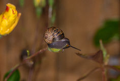 A small snail balanced precariously Royalty Free Stock Images