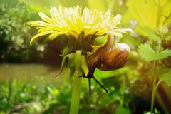 A small snail crawling on the flower of a yellow dandelion royalty free stock photos