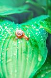 A small snail crawling on large embossed leaves with water drops in a tropical forest on a sunny day.  royalty free stock images
