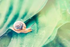 A small snail crawling on large embossed leaves with water drops in a tropical forest on a sunny day.  royalty free stock photography