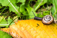 Small snail crawling on yellow leaf Royalty Free Stock Photos