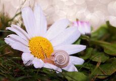 Small snail on daisy flower Stock Photography