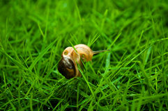 Small snail and grass blade Royalty Free Stock Photo