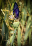 Small snail on the iris bud Stock Image