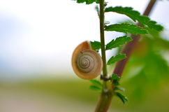Small snail on the leaf of the green lettuce Royalty Free Stock Images