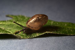 Small snail on a leaf. Selective focus Stock Photography