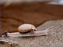 Small snail Stock Photography