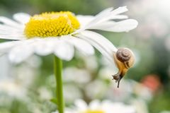 Free Small Snail On A Camomile Flower On Summer Day. Stock Photos - 152557203