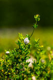 Small snail on a plant Royalty Free Stock Photography