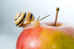 Small snail on a red apple Stock Photos