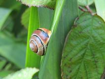 Snail resting on a leaf Royalty Free Stock Image