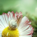 A small snail sits on a Daisy flower. Macro. Light green blurred background. White flower with pink petals and a yellow center. royalty free stock photo