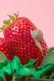 Small snail on strawberry Royalty Free Stock Photos