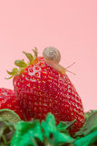 Small snail on strawberry Royalty Free Stock Image