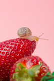 Small snail on strawberry Stock Photography