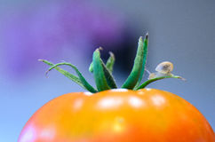 A small snail on the tomato. A small land snail is sitting on the tomato Stock Photos
