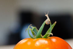 A small snail on the tomato. A small land snail is sitting on the tomato Royalty Free Stock Image