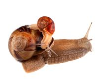 Small snail on top of big Stock Images